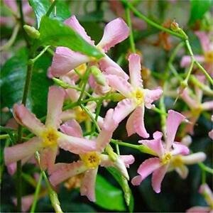 Trachelospermum Pink Showers In a 9cm Pot - Star Jasmine Plant Ready To Plant