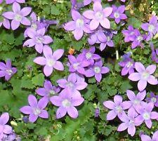 Campanula poscharskyana / Serbian Bell Flower / Hardy Perennial / 150 Seeds