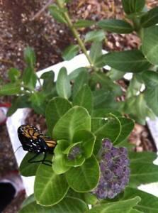 50 Fresh Seeds SWAN PLANT MILKWEED Gomphocarpus cancellatus Cotton Bush