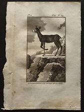1799 - Buffon - Le Klippsbringer ou le sauteur des rochers - Gravure