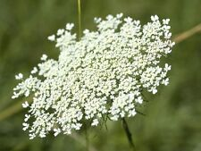5000 Seeds of False Queen Anne's Lace - Bishop's Weed - Ammi Majus