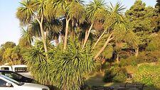 Cordyline australis - Cabbage Palm 10 seeds