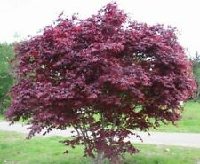 8 Cuttings Red Japanese Maple Trees Caudex Bonsai For Propagation Cold Hardy
