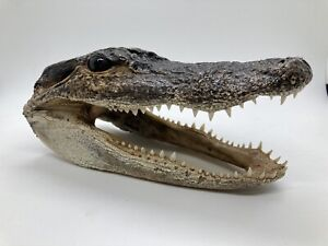 Alligator Head From Genuine Louisiana Gator