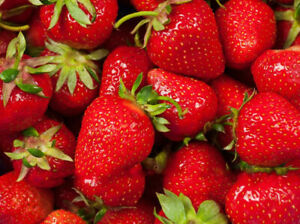 PRE ORDER LARAMIE FORT EVER BEARING STRAWBERRY PLANTS - GREAT FOR NORTHERN AREAS