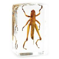 Locust Specimen Insect Resin Paperweight Taxidermy Educational Toy Ornament Gift