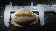 CYPRAEA marginata consueta/Carnac Islanda, s.w.a.k. Australia uniquely Beautiful