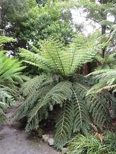 Cyathea dealbata, 500 Samen / Sporen Silberfarn Baumfarn Riesenfarn