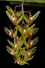 Cirrhaea dependens 3 bulbs 1 new shoot 11 x 16 cm Y.P.