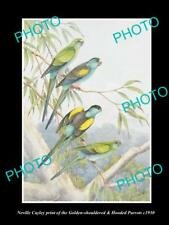 NEVILLE CAYLEY VINTAGE PRINT OF AUSTRALIAN BIRDS, 16x11, HOODED & G/S PARROT