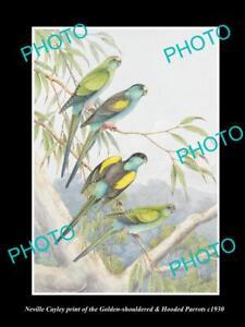 NEVILLE CAYLEY VINTAGE PRINT OF AUSTRALIAN BIRDS 16x11 HOODED & G/S PARROT