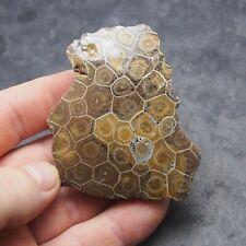 Coral Hexagonaria Fossil Polished Devonian Morocco