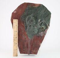 Superb Crinoid Morocco Fossil Scyphocrinite Large Silurian 400+ mya #3157