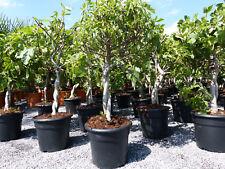 Feigenbaum 110 cm ! hell UND dunkel ! Obstbaum, winterhart, Ficus Carica, Feige,