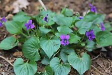 50+ Wild Violet Plants Perennial ,Viola Odorata, Organic Violet, Medicinal Plant