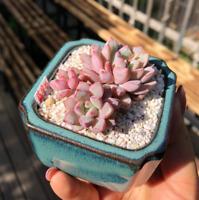 1-Cut 7cm Succulent live Plant Echeveria subcorymbosa Home Garden Flower pot