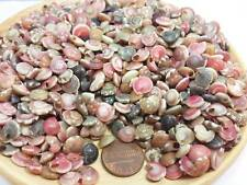 Tiny Sea Shell Mini Natural Thai Seashells Craft Decorations Small Sea Shell