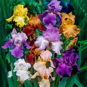 Iris mixed colors(Re blooming) - 4 freshly dug tubers