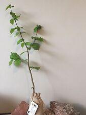 4 Truffle Tree (Hazel tree inoculated with the Black Summer or Burgundy Truffle)