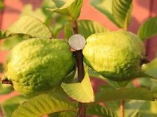 "Vietnamese Guava - 2 Feet - Ship in 4"" Pot"