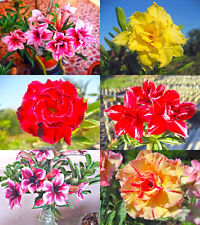 """ADENIUM Beautiful """"Mixed 6 Types"""" 6 GRAFTED PLANTS FRESH!"""