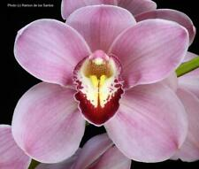 Cymbidium Renee Taylor 'May Ling', orchid plant with 4 growths