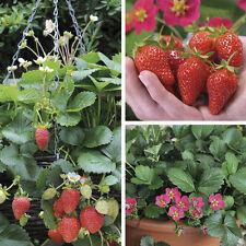 UK Seller*Sweet Strawberry *50-Fresh Seeds*Four Season *ONE Plant 3-5kg Fruit*