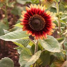 40PCS Semillas Seeds Girasol Flores Belleza Otoño-Helianthus Sunflower Tournesol