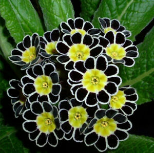 Multicolor Primula COLORS European Primrose 100 Pcs Seeds Flowers Woodland NEW I