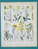 FLOWERS Medicinal Botany Mustard Rapeseed Wild Cabbage - 1845 H/C COLOR Print