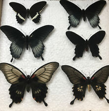 More details for a fine framed  collection of british butterfly  specimens taxidermy entomology