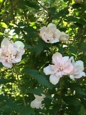 3 Colors of Double Rose of Sharon cuttings. Check out the pictures!