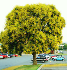 Koelreuteria bipinnata - Chinese Flame-Tree exotic flower bonsai seed - 20 seeds