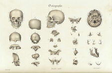 Framed Vintage Medical Print – Bones of the Human Skull (Picture Art Anatomy)