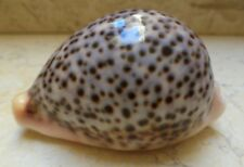 Cypraea Pantherina F ++++ GEM 84 MM blue Red Sea Shell  Natural Glossy 867