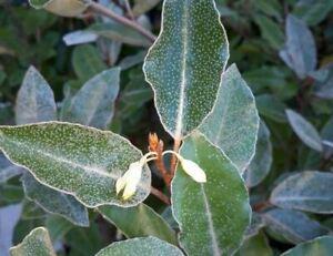 25 Elaeagnus x Ebbingei Silverberry Cuttings Privacy Hedging Fragrant + Guide