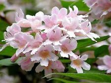 Kolkwitzie, Perlmuttstrauch, überreiche Blüte in Rosa
