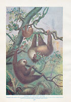 1910 Naturale Storia Stampa Double Sided ~ Elefante / Unaus Sloths ~ Lydekker