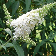 Special order of 8 white and 8 purple buddleia