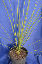 DASYLIRION LONGISSIMUM v18 Dasylirion quadrangulatum Mexican Grass Tree plant