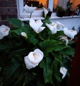 3 x HARDY CROWNBOURGH  ARUM LILY plants. Perennial garden/pond plant. Bare root