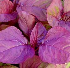 Amaranth Chinese Spinach Asia Red Vegetable Seeds