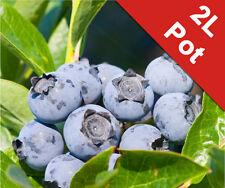 Blueberry Soft Fruit Bush Bluecrop Vaccinium Corymbosum 2L Pot Superfood Plant