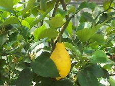 100% naturreines ätherisches Zitronenöl -Italien, Citrus limonum, 10 ml