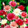 IMMORTELLE DOUBLE MIX - 400 seeds - Xeranthemum Annuum - EVERLASTING FLOWER