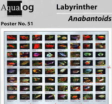 AQUALOG Poster The Nicest Labyrinths, Bettas, Paradise Fish, Gouramis LAMINATED