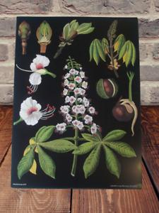 Herbarium School Poster Jung-Koch-Quentell Brown chestnut Marron Marronnier art