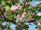 Sivers ' Apple tree Malus sieversii 20 seeds