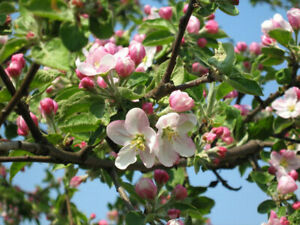 Sivers ' Apple tree (Malus sieversii) 20 seeds