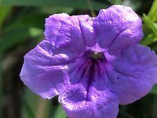 10 Ruellia Tuberosa Perennial Mexican Petunia Plant Fresh Cuttings